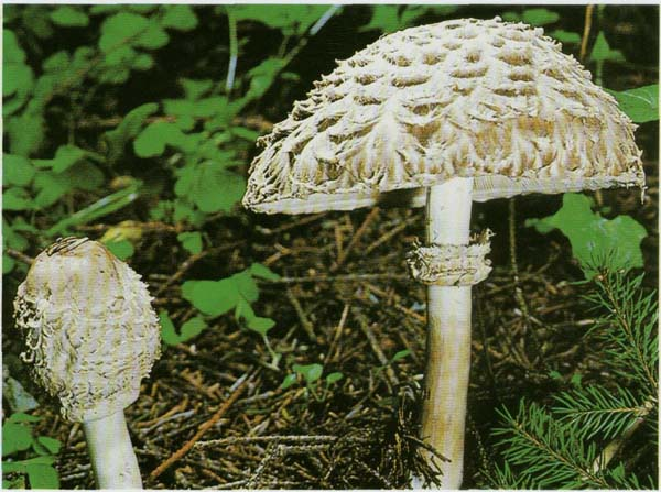 http://www.mushrooms.ru/pic/img_309.jpg